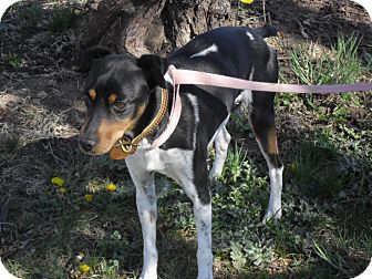 Jack Russell Terrier Mix Dog for adoption in Fort Lupton, Colorado - Sparky