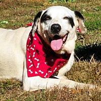 Labrador Retriever/Dalmatian Mix Dog for adoption in Elizabeth City, North Carolina - Ringo