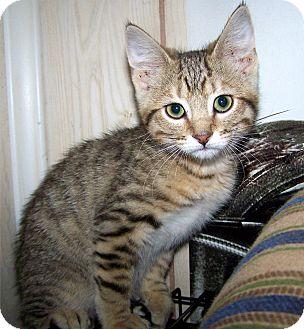 Domestic Shorthair Kitten for adoption in O'Fallon, Missouri - Selene
