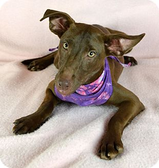 Miniature Pinscher Mix Dog for adoption in Jackson, Mississippi - Charity