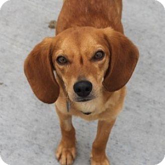 Beagle/Dachshund Mix Dog for adoption in Naperville, Illinois - Carter