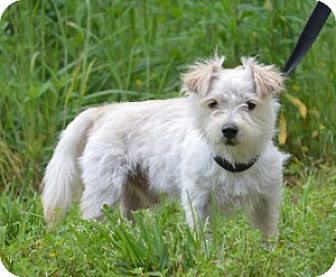 Westie, West Highland White Terrier/Shih Tzu Mix Dog for adoption in Chalfont, Pennsylvania - Chubby