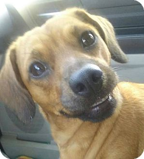 Dachshund/Beagle Mix Dog for adoption in Rochester, Minnesota - Jasmine