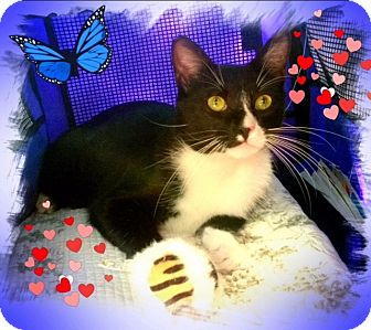 Domestic Shorthair Cat for adoption in Harrisburg, North Carolina - Bo