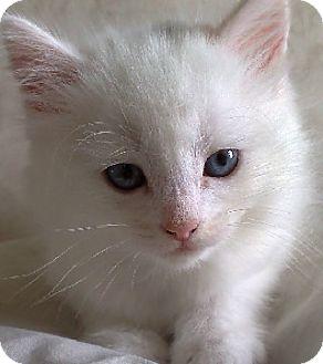 Manx Kitten for adoption in Putnam Hall, Florida - Frost
