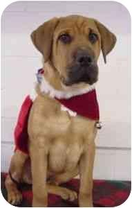 Rottweiler/Doberman Pinscher Mix Puppy for adoption in Westfield, New York - Red