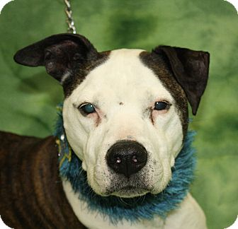 Pit Bull Terrier Mix Dog for adoption in Jackson, Michigan - Tucker