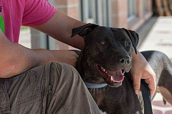 American Staffordshire Terrier Mix Dog for adoption in Bandera, Texas - Oshie
