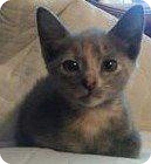 Domestic Shorthair Kitten for adoption in Hampton, Virginia - GOLD