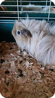Guinea Pig for adoption in Simcoe, Ontario - Ginivor