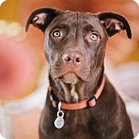 Adopt A Pet :: Hershey - Portland, OR