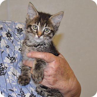 Domestic Shorthair Kitten for adoption in Sunrise Beach, Missouri - Mystery