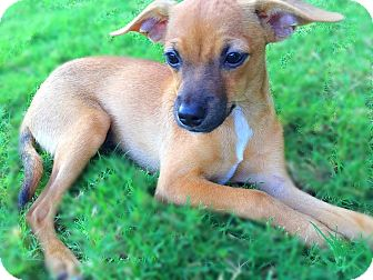 Terrier (Unknown Type, Small) Mix Puppy for adoption in Scottsdale, Arizona - Pan
