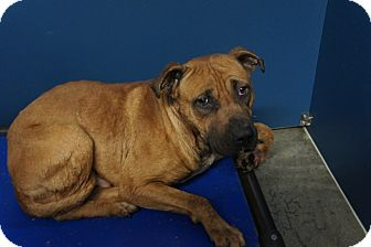 Pit Bull Terrier Mix Puppy for adoption in Henderson, North Carolina - Hairy