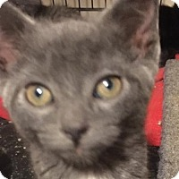 Adopt A Pet :: Klara - Hamilton, ON