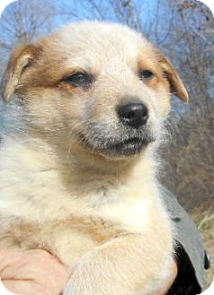 Australian Cattle Dog/Australian Shepherd Mix Puppy for adoption in Allentown, New Jersey - Ross