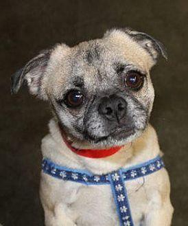Pug Dog for adoption in Gardena, California - Boogie