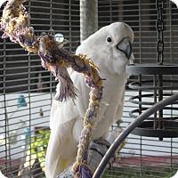 Adopt A Pet :: Mischief - Christmas, FL