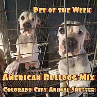 Adopt A Pet :: Pork chop - Colorado City, TX