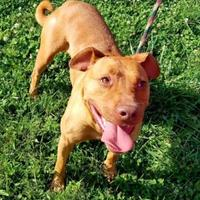 Adopt A Pet :: Choo-Choo - Cumberland, MD