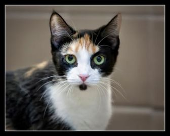 Domestic Shorthair/Domestic Shorthair Mix Cat for adoption in Wickenburg, Arizona - Kiera