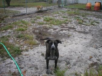 German Shorthaired Pointer/American Staffordshire Terrier Mix Dog for adoption in Jacksonville, Florida - dina