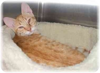 Domestic Shorthair Cat for adoption in Naples, Florida - Gatsby