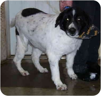 Collie Mix Dog for adoption in Somerset, Pennsylvania - Jasper