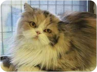 Persian Cat for adoption in The Colony, Texas - Louisa