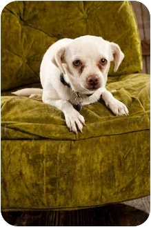 Jack Russell Terrier/Pug Mix Dog for adoption in Portland, Oregon - Amos
