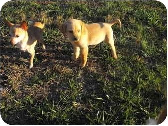 Labrador Retriever Mix Puppy for adoption in Wilminton, Delaware - Yellow Lab female 1