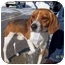 Photo 1 - Beagle Mix Dog for adoption in Plainfield, Illinois - Franklin