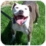 Photo 2 - American Pit Bull Terrier Dog for adoption in All of Colorado, Colorado - Brenna