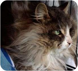 Domestic Longhair Cat for adoption in Markham, Ontario - Benjamin