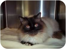 Himalayan Cat for adoption in Portland, Maine - Summer