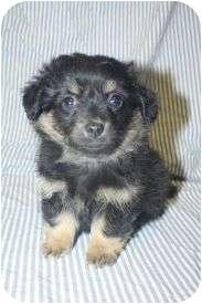 Scottie, Scottish Terrier/Spaniel (Unknown Type) Mix Puppy for adoption in Westminster, Colorado - BIANCA