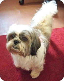Shih Tzu Dog for adoption in Jacksonville, Florida - Betsy