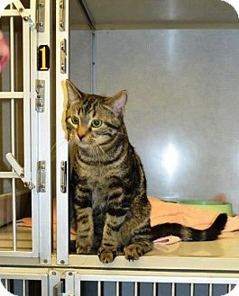 Domestic Shorthair Cat for adoption in Indianola, Iowa - O11 - Tom