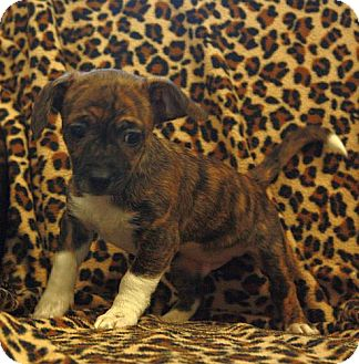 Jack Russell Terrier Mix Puppy for adoption in Spring Valley, New York - Marble