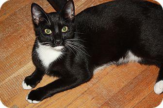 Domestic Shorthair Kitten for adoption in Hampton, Virginia - Ned
