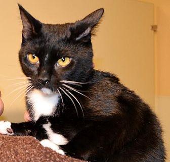 Domestic Shorthair Cat for adoption in Horn Lake, Mississippi - Willie