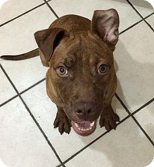 American Staffordshire Terrier Mix Puppy for adoption in Broadway, New Jersey - China