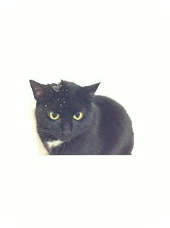 Domestic Shorthair Cat for adoption in Toronto, Ontario - Emma