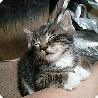 Adopt A Pet :: Three kittens - Whitestone, NY