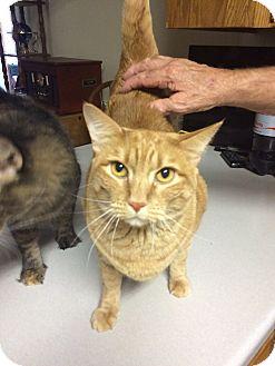 Domestic Shorthair Cat for adoption in Bonner Springs, Kansas - Tuffy