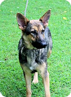 German Shepherd Dog Dog for adoption in Cooperstown, New York - Ariel
