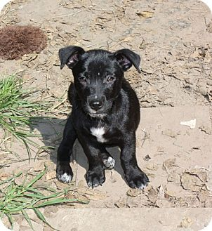 Labrador Retriever/Cattle Dog Mix Puppy for adoption in Marion, Arkansas - Buddy-PENDING