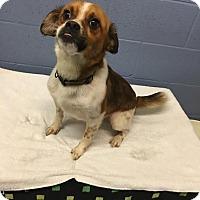 Adopt A Pet :: Peda - Gadsden, AL