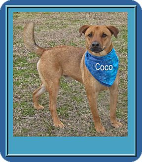 Labrador Retriever/Cattle Dog Mix Dog for adoption in Hillsboro, Texas - CoCo