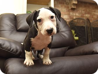 Bulldog/Jack Russell Terrier Mix Puppy for adoption in PORTLAND, Maine - Rocky